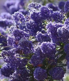 Ceanothus Concha has many colors shades and tones. Some years the plants are more reddish purple some years bright blue some years larger flowers some years more smaller flowers. Always beautiful. Evergreen Bush, Drought Resistant Plants, Xeriscape, Plants, Drought, Native Plants, Native Garden, Drought Tolerant Plants, Perennial Shrubs