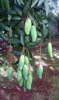 I think these are the variety we have in our garden. Vietnamese Green mangoes