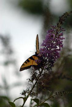 Butterfly from West of the Moon Writer's Retreat by Lafayette Wattles, via Behance