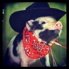 micro pig   Tumblr
