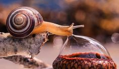 Snail drinking from a bubble.