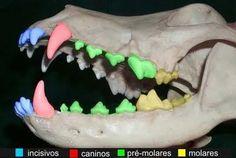 Os dentes definitivos do cão são: 6 incisivos, 2 caninos, 8 pré-molares e 4 molares em cima e 6 incisivos, 2 caninos, 8 pré-molares e 6 molares embaixo.