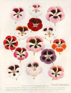 PrintCollection - Geranium Varieties