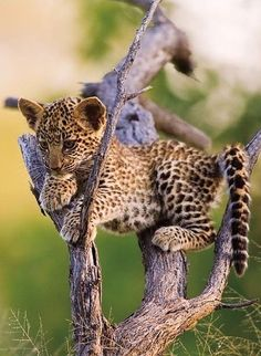 little ghepard