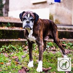 Nothing more beautiful than a senior boxer. You know they know all