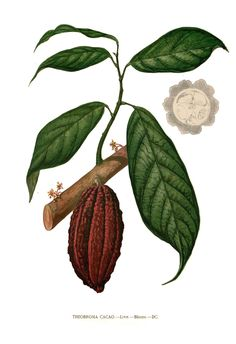 Theobroma_cacao_Blanco_clean.jpg (1416×2069)
