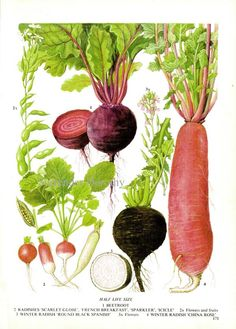 Beet Radish Chart Root Vegetable Food Botanical Lithograph Illustration