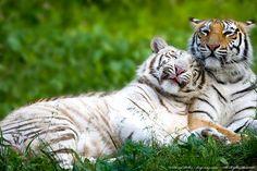 Tigers - Tigers Photo (20109156) - Fanpop