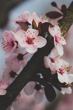 Ideas Spring Flower Art For Kids Cherry Blossoms Sakura Cherry Blossom, Pink Blossom, Peach Blossoms, Japanese Cherry Blossoms, My Flower, Flower Art, Flower Power, Flowers Nature, Spring Flowers
