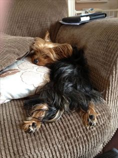 """Get terrific pointers on """"yorkshire terriers"""". They are actually accessible for you on our website. Yorkies, Yorkie Puppy, Yorky Terrier, Terrier Dogs, Cute Puppies, Cute Dogs, Dogs And Puppies, Lap Dogs, Irish Wolfhound Puppies"""