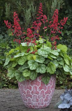 Dolce Appletini Heuchera has spectacular blooms in addition to gorgeous foliage for your favorite perennial garden.