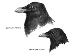 Common Raven/American Crow Illustration by Giovanni Maki