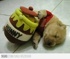 Real life Winnie the Pooh. They really need to stop posting such cute puppies on 9gag. I can't handle it anymore.
