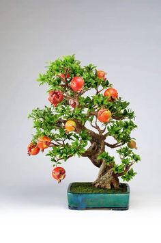 Pomegranate Bonsai Tree | There are many varieties with different color, shape and size of flowers and fruit.