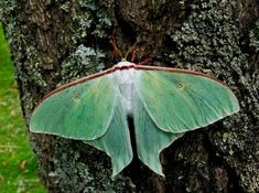 Butterfly or Moth? Butterfly Facts, Green Butterfly, Butterfly Photos, Lunar Moth, Atlas Moth, Pictures Of Insects, Moon Moth, Moth Wings, Largest Butterfly