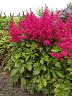 Astilbe 'Younique Ruby Red'