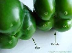 Who knew? Flip the bell peppers over to check their gender. The ones with four bumps are female and those with three bumps are male. The female peppers are full of seeds, but sweeter and better for eating raw and the males are better for cooking. Chicken Puffs, Garlic Chicken, Eat The Rainbow, Eating Raw, Eating Healthy, Healthy Meals, Clean Eating, Food Facts, Roasted Garlic