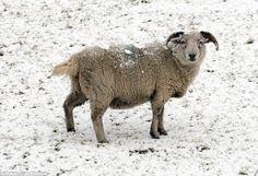 Queda de neve pesada em Bacup, Lancashire, deixa as ovelhas cobertas na neve.  O Met Offic...