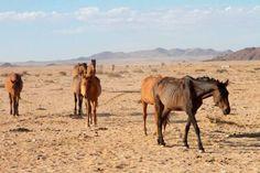 Wilde perde in die Naukluft Nasionale Park in Garub, Namibië, staan op die randjie van uitwissing en sal binnekort na 'n veiliger habitat verskuif word om hierdie rare verskynsel van die Namibiese woestyn te red.
