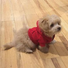 Bentley, our cutest customer, wearing the Dog Zip Hoodie ! #AmericanApparel #MadeInUSA #Puppy