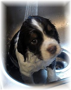 Bath Time! English Springer Spaniel pup! https://www.facebook.com/sunshinespringers