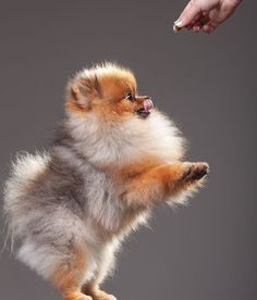 Pomeranian | #WOOFipedia, provided by the American Kennel Club #WOOF #Poms