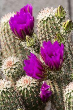 Arizona Desert Cactus   Hedgehog Cactus, Arizona-Sonora Desert Museum, Tucson, Arizona, USA ...
