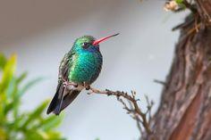 Broad billed hummingbird Lois Manowitz