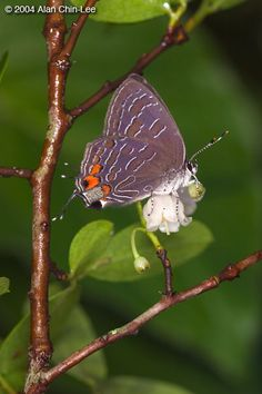 Strioed hairstreak (Satyrium liparops), Florida, USA. Florida Museum of Natural History Lepidoptera Image Gallery, Alan Chin-Lee, photographer.