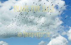 for sale flying flock of black birds