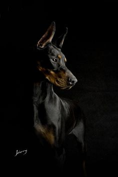 """Cavera - Dobermann From your friends at phoenix dog in home dog training""""k9katelynn"""" see more about Scottsdale dog training at k9katelynn.com! Pinterest with over 18,400 followers! Google plus with over 120,000 views! You tube with over 400 videos and 50,000 views!! Twitter 2200 followers! Now serving the valley for 11 plus years!"""