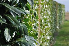 Need some greenery for your landscape? Nature Hills has just the thing for you! This evergreen Bay Laurel shrub is the perfect privacy screen and it makes a wonderful patio plant! Don't wait! Get yours today! #gardening #spring #shrub Best Trees For Privacy, Privacy Trees, Patio Trees, Patio Plants, Bay Laurel Tree, Fast Growing Trees, Simple Elegance, Hedges