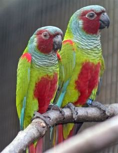 The Pfrimer's parakeet in aviculture also known as Pfrimer's conure is a species of parrot in the family Psittacidae.- Google Search