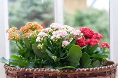 Shake off winter blues with indoor houseplants that bloom. One of the most natural ways to boost your mood during the winter is indoor blooms. Kalanchoe Blossfeldiana, Flowering Succulents, Blooming Plants, Kalanchoe Flowers, Easy Care Plants, Garden Club, Large Plants, Plantar, Outdoor Plants