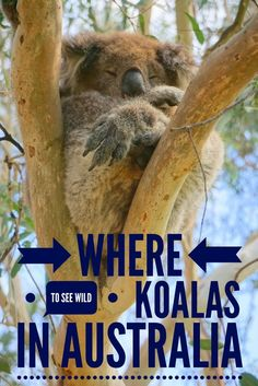 Where to see koalas in the wild on the Great Ocean Road, Australia.