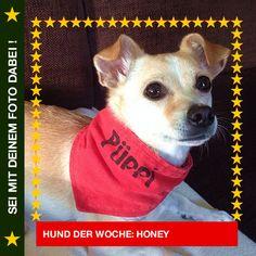 Jack Russel Chihuahua Mix Honey Yeah, ich hab den besten Platz vor dem Fernseher und gehe hier auch nicht mehr weg! #Hund: Honey / Rasse: #Jack Russel Chihuahua Mix      Mehr Fotos: https://magazin.dogs-2-love.com/hund-der-woche/jack-russel-chihuahua-mix-honey/ Fernsehen, Foto, Hund, Kuscheln