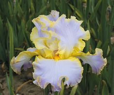 Truly an impressive and unusual Iris. The longer we look at it, the more we like it. Ruffling and form are nonpareil, as the photo shows. Muted yellow banding...