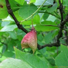 This bladdernut species is a very rare shrub from Southeast Europe that grows in warm woods. June Flower, White Strawberry, Seed Catalogs, Colorful Flowers, Good To Know, Shrubs, Perennials, Seeds, Shrub
