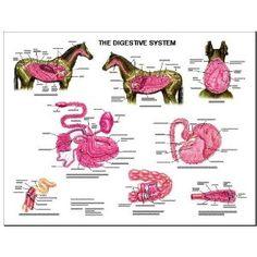 Equine Digestive Anatomy Chart Horse