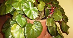 L a majeure partie de la famille des Begoniaceae est originaire d' Amérique du sud et d' Amerique centrale puis, dans une moindre ...