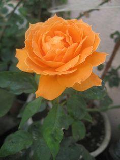 rosa tangerina || Beautiful Apricot/Orange Rose