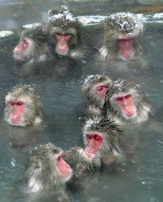 Para escapar do frio, macacos tomam banho em fonte de água quente em Hakodate, na ilha de Hokkaido, no norte do Japão. - terapias naturais - saúde - Health - macacos - monkey - animais - animals - animales - água