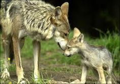 mother and baby wolf or coyote