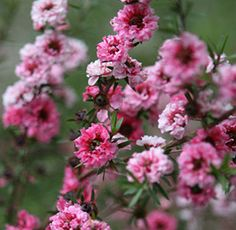 One of my new faves, New Zealand Tea Tree or Manuka. The flowers look so adorable when pressed. We've got 5 in our big raised flower bed. Hope I don't kill them with too much love.