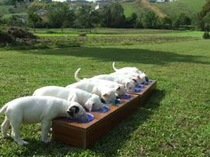 English Bull Terriers dining on the green!