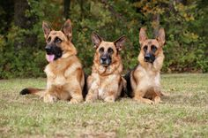 German Shepherds - Family Portrait Photograph by Sandy Keeton ...