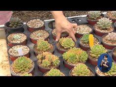경기도뉴스/인기 다육식물 쉽게 키워요! - YouTube Succulents, Breakfast, Food, Morning Coffee, Essen, Succulent Plants, Meals, Yemek, Eten