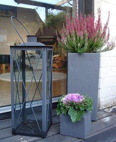 bruyère Erica lilas et chou d'ornement dans des pots à fleurs en béton