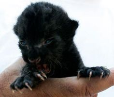 Baby Panther Adopted by Dog Baby Panther, Panther Cub, Pumas, Tiny Cats, Cats And Kittens, Black Animals, Cute Animals, Black Cats, Wild Animals
