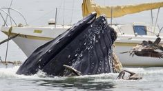 Humpback surprises boaters~Off the coast of San Luis Obispo in central California. Courtesy Bill Bouton